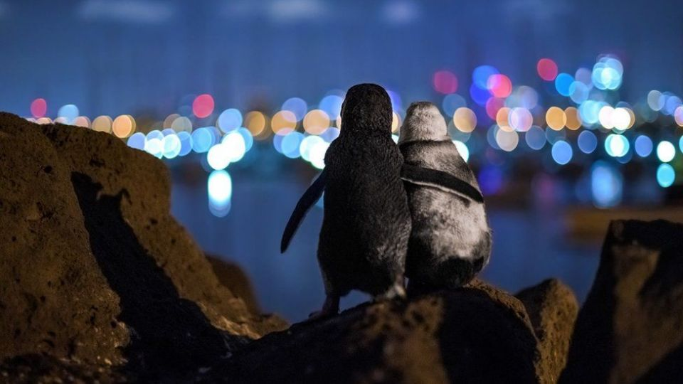 Picture of two widowed penguins comforting each other wins top photography award