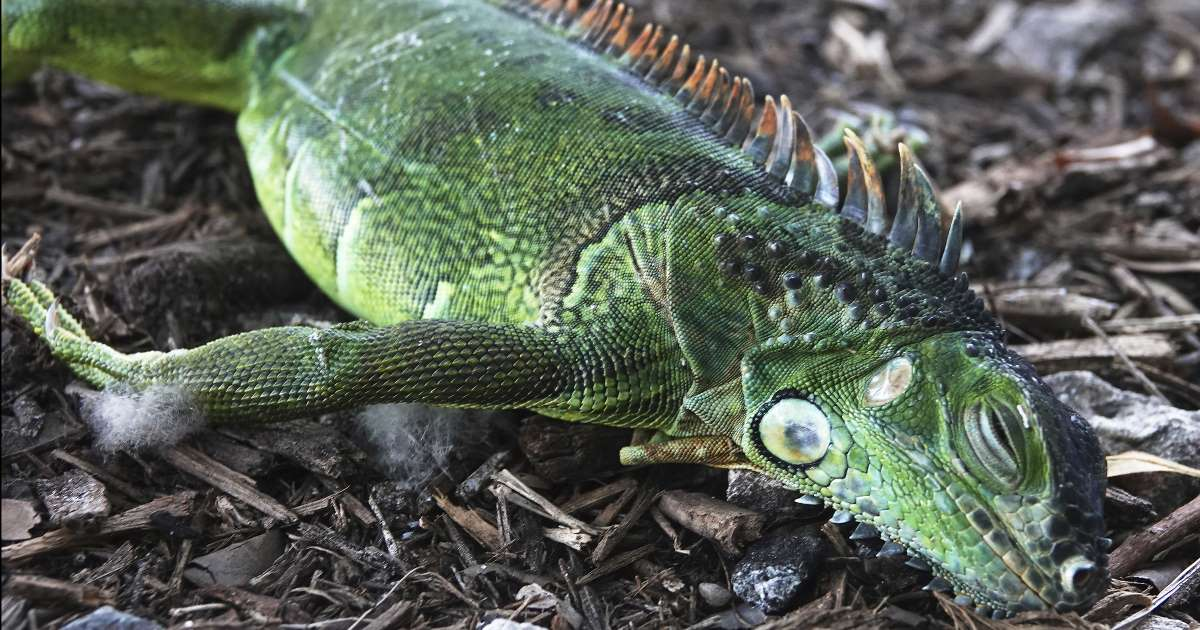 Chilly Christmas could lead to falling iguanas